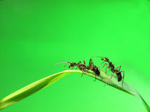 Ant isolated on grass Stock Photography
