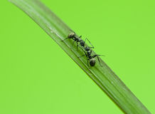 Ant isolated on grass Stock Photo