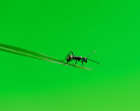 Ant isolated on grass Stock Images
