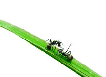 Ant isolated on grass Royalty Free Stock Photos