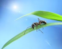 Ant isolated on grass Royalty Free Stock Photo