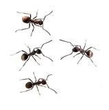 Ant isolated on white Royalty Free Stock Image