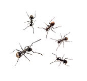 Ant isolated on white Stock Photography