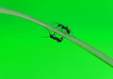 Ant isolated on white Royalty Free Stock Image