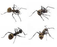 Ant isolated on white Royalty Free Stock Photos