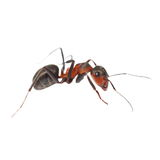Ant isolated on white Royalty Free Stock Images