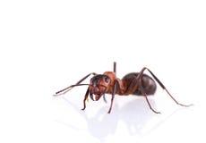 Ant isolated on white background. Royalty Free Stock Image