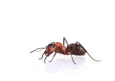 Ant isolated on white background. Stock Photography