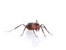 Ant isolated on white background. Stock Image