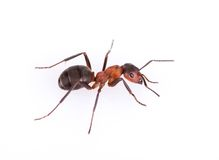 Ant isolated on white background. Royalty Free Stock Photo
