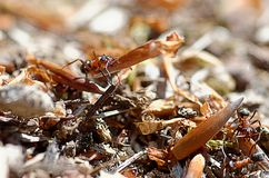 Ant Stock Photography