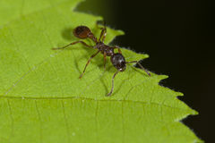 Ant on the jagged leaf Royalty Free Stock Images