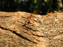 Ant Job. A beautiful picture of a red worker ant crawling on a wooden surface Stock Photography