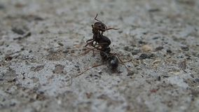 Ant killing a half ant. An ant killing a half ant stock video footage