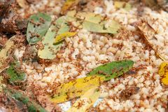 Ant larvae, Weaver ants or green ants, for cooking. Local food o royalty free stock photo