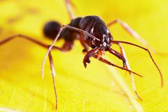 Ant on leaf Royalty Free Stock Image
