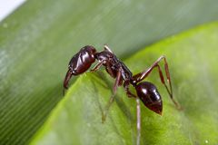 Ant on leaf Royalty Free Stock Photography