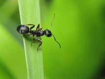 Ant on leaf royalty free stock photos