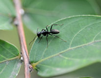Ant on a leaf Stock Images