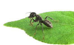 Ant on leaf Stock Photo