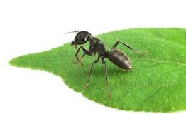 Ant on leaf Stock Photo