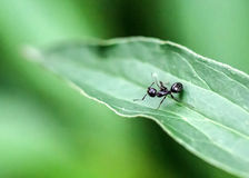 Black Ant on a Green Leaf. A close up of a black ant on a green leaf Royalty Free Stock Image