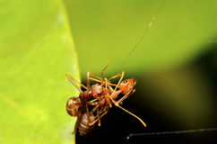 Ant on a leaf in the forest Stock Photography