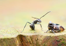 Ant and leaf hopper Royalty Free Stock Photo