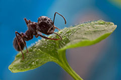 Ant on a leaf. After rain Stock Photo