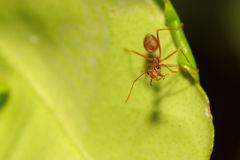 Ant on leaf Royalty Free Stock Images