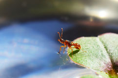 Ant on a leaf set foot on the water Stock Photo