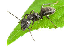 Ant on leaf tip Stock Images