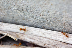 Ant life. Ants looking for food in dry seasons Royalty Free Stock Photography