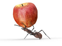 Ant is lifting an apple isolated on a white Royalty Free Stock Photo