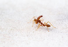 Ant lifting of large pieces Royalty Free Stock Image