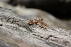 Ant on log Royalty Free Stock Images
