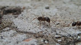 Ant looking around Royalty Free Stock Photography