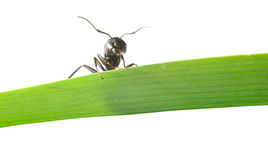 Ant looking down from grass Royalty Free Stock Photo