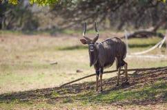 Ant?lope del Nyala foto de archivo libre de regalías