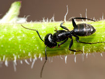 Ant macro Royalty Free Stock Photography