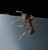 Ant macro. Isolated worker ant super macro Stock Photography