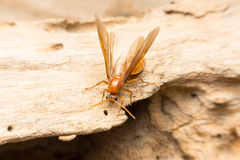 Ant. Macro photo of a Carpenter ant Royalty Free Stock Image