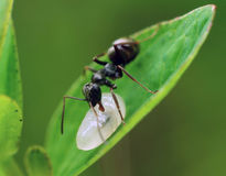 Ant with maggot Royalty Free Stock Photo