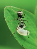 Ant with maggot Royalty Free Stock Images