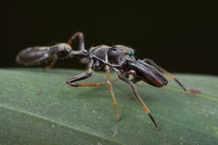Ant-mimic jumping spider Royalty Free Stock Photo