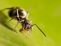 Ant-mimic jumping spider Stock Images