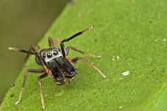 An Ant-mimic Jumping spider. This is an ant-mimic jumping spider, it having it meal of another spider under the 2 big jaw, but yet protecting himself by give Stock Photography