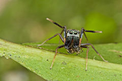An Ant-mimic Jumping spider. This is an ant-mimic jumping spider, it having it meal of another spider under the 2 big jaw, but yet protecting himself by give Stock Images