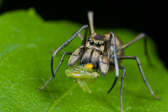 An ant-mimic Jumping spider with prey. Macro shot of an ant-mimic Jumping spider with prey - a planthopper nymph Stock Photos