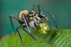 An ant-mimic Jumping spider with prey. Macro shot of an ant-mimic Jumping spider with prey - a planthopper nymph Stock Image